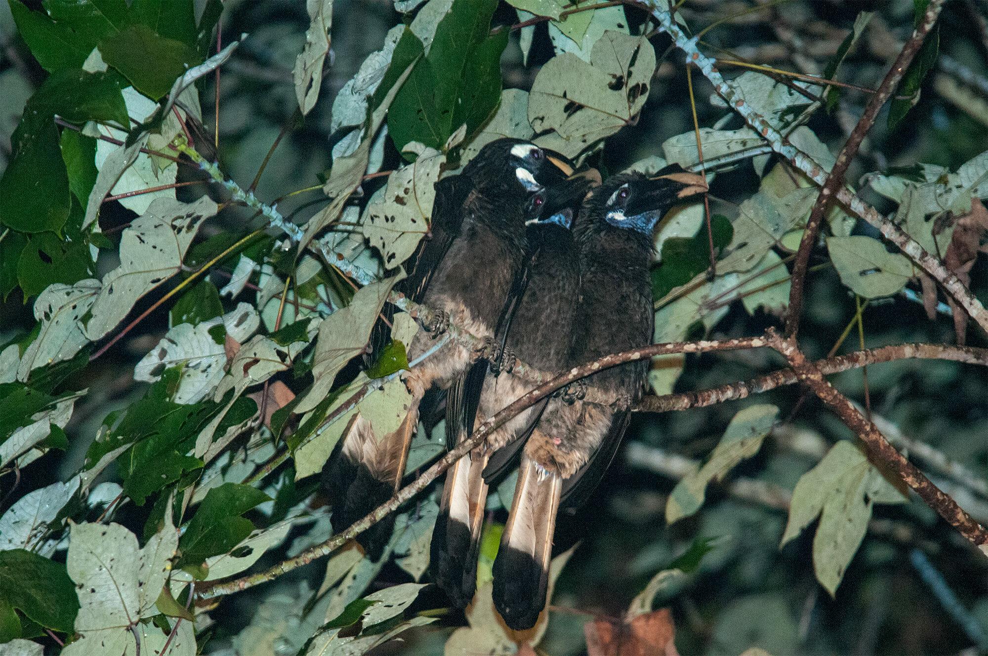 Wildlife of Deramakot - Helmeted hornbills sleeping