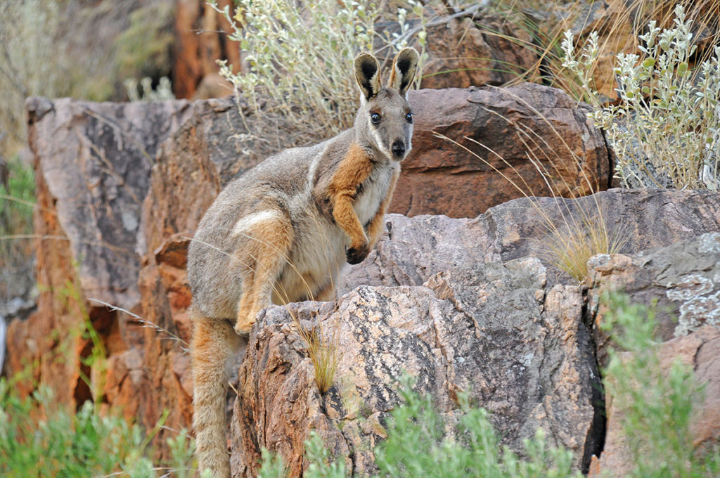 Flinders Ranges wildlife - yellow-footed rock wallaby