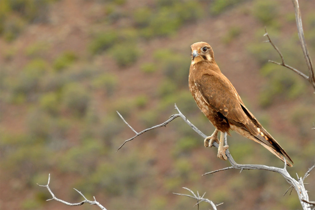 Flinders Ranges birds - Brown falcon