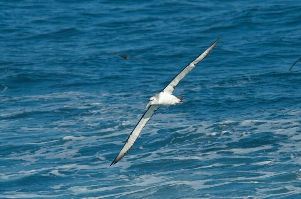 shy albatross off sydney coast