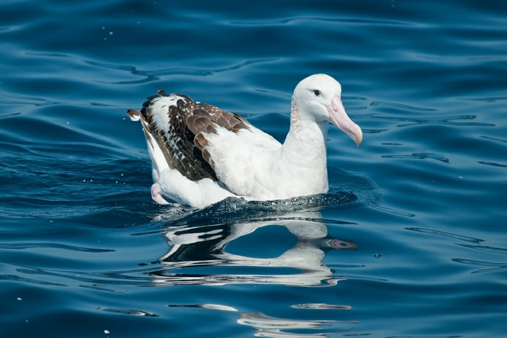 Pelagic Wildlife Watching - wandering albatross off sydney coast