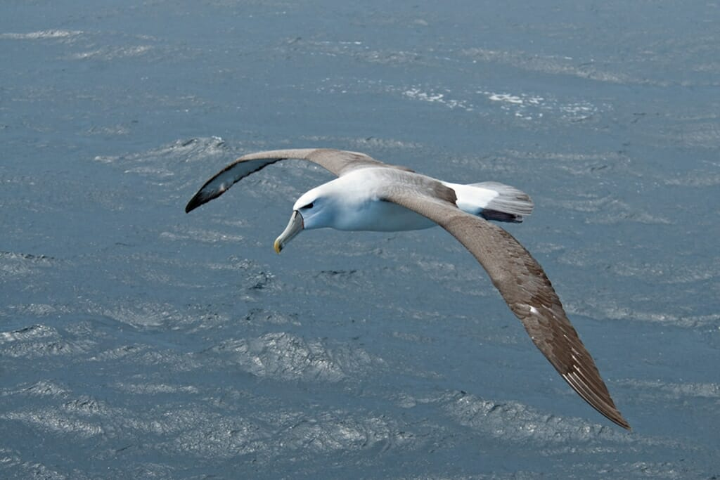Blaci-browed albatross off sydney coast