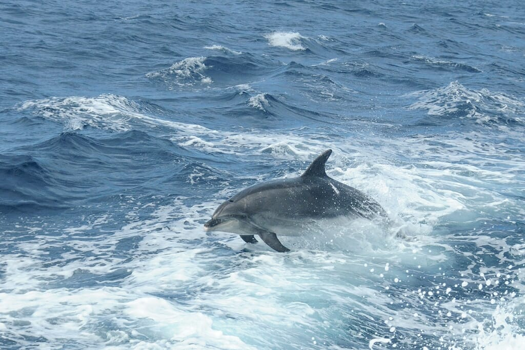 Bottlenose dolphins off sydney coast