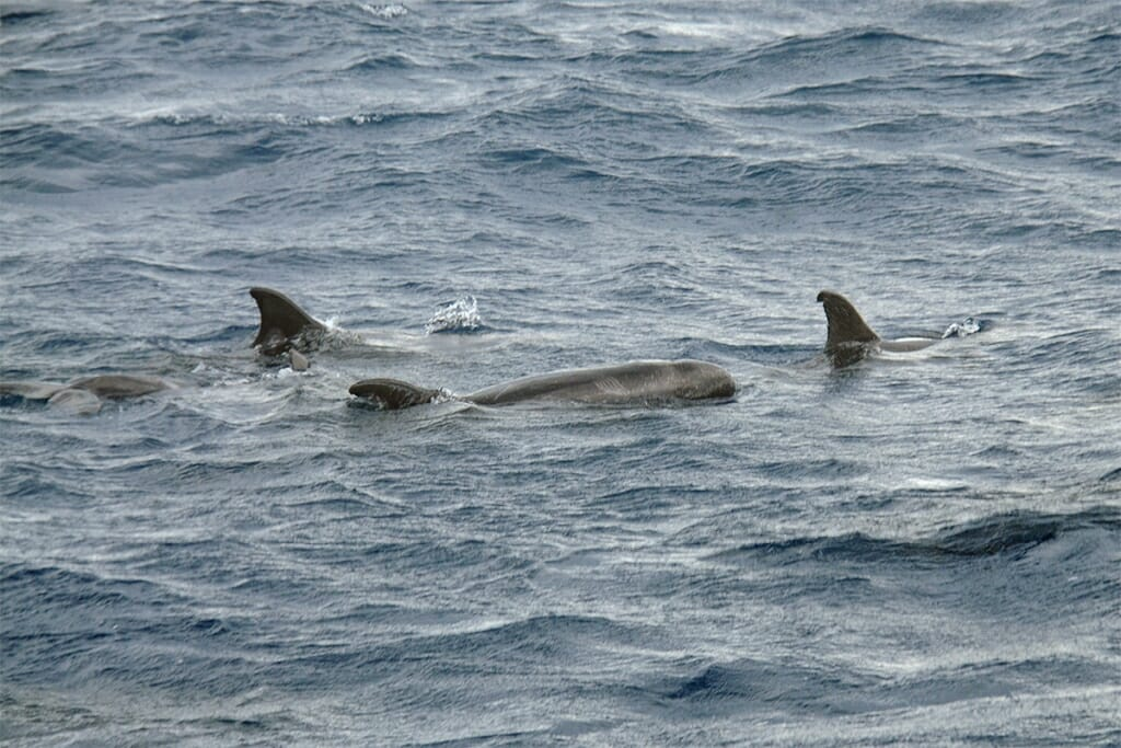 Pygmy killer whales off sydney