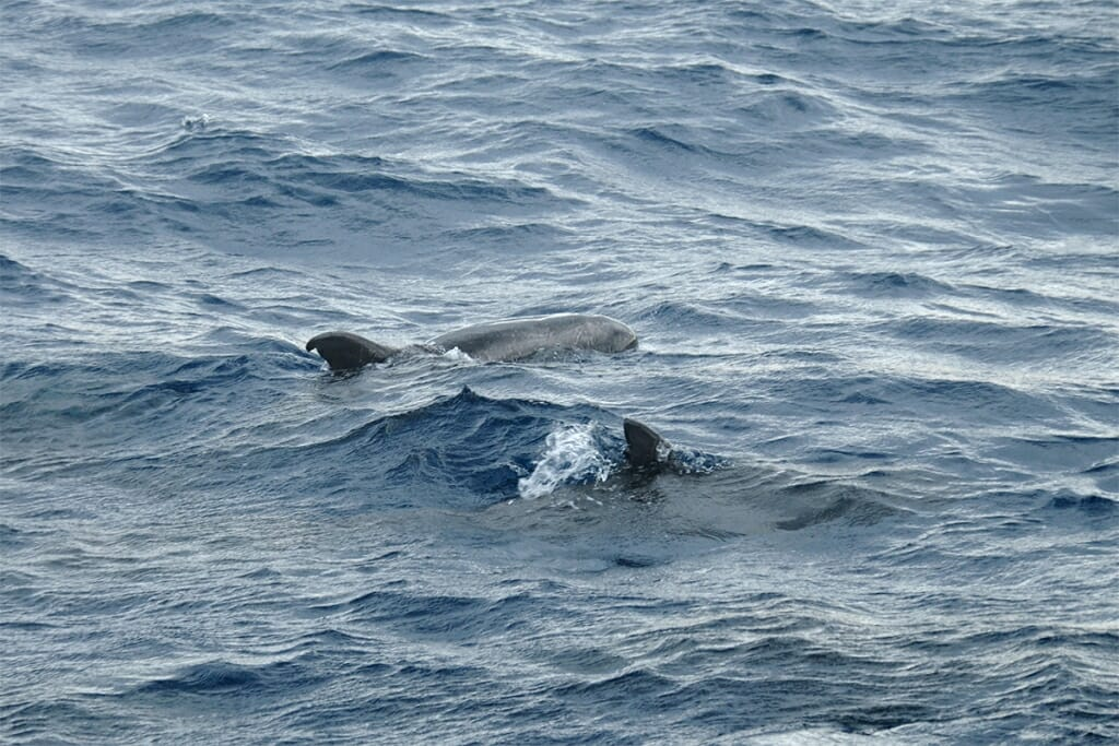 pygmy killer whales off sydney coast