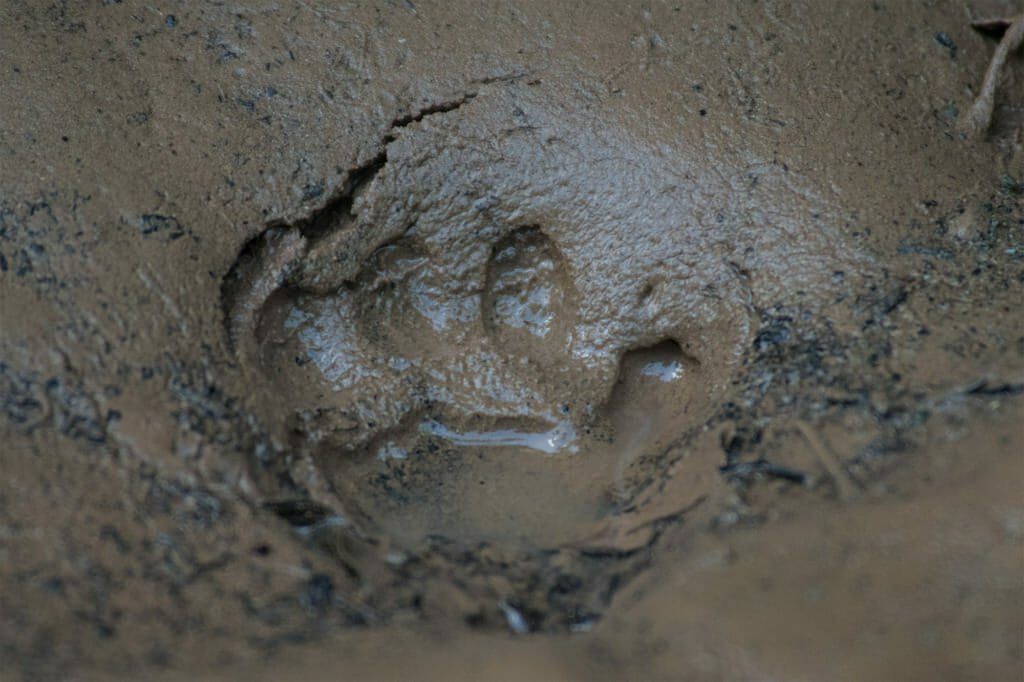 Paw print of a Clouded Leopard in Borneo