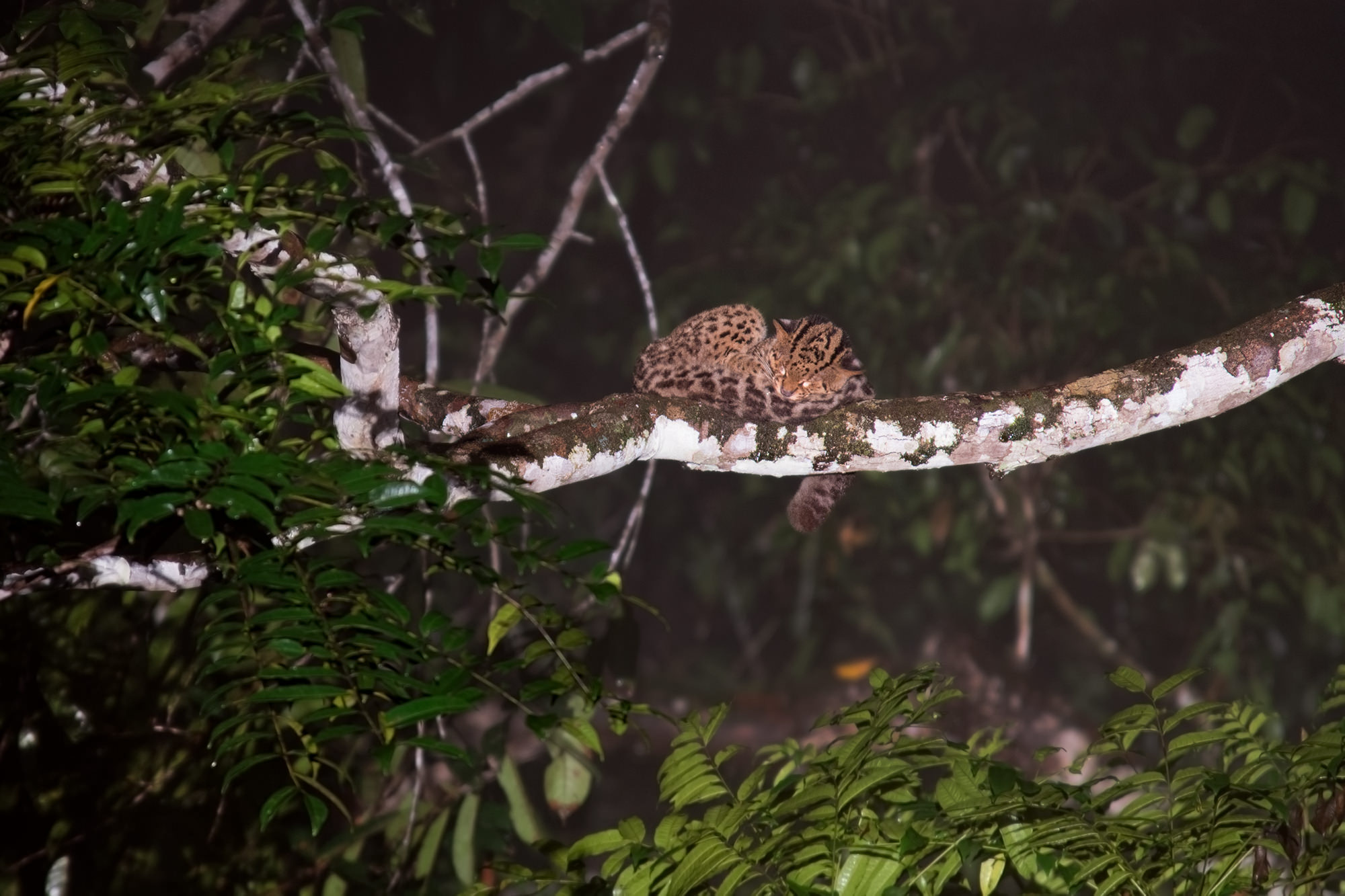 Wild cats of Borneo - Marbled cat