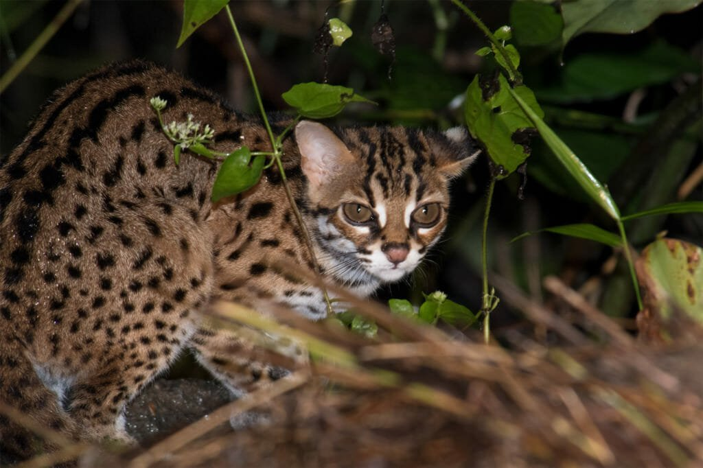 Wild Cats of Borneo - Sunda leopard cat in Deramakot Forest Reserve