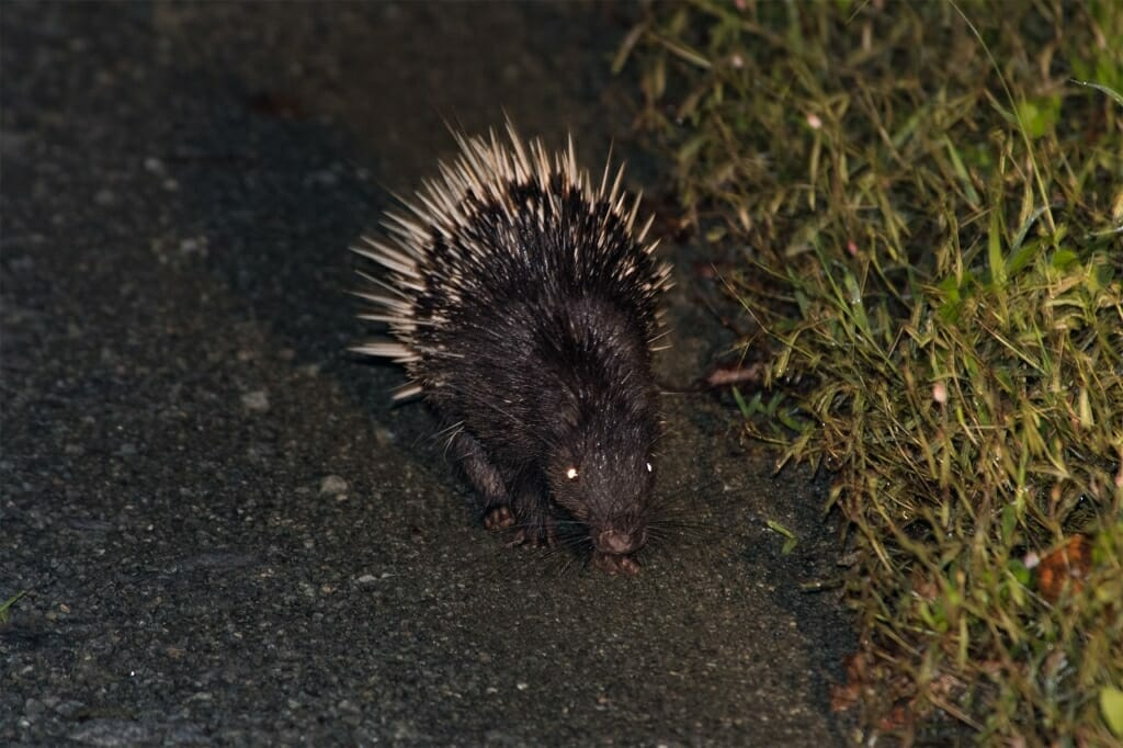 Wildlife of Deramakot - Malayan porcupine