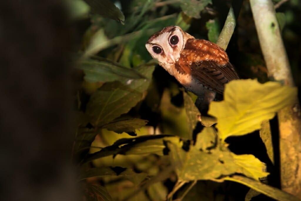 Oriental Bay Owl, Kinabatangan river, Borneo
