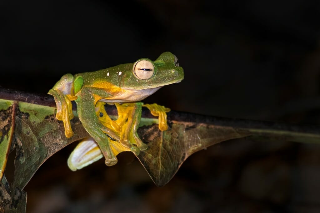 Wildlife of Deramakot - Wallace's flying frog