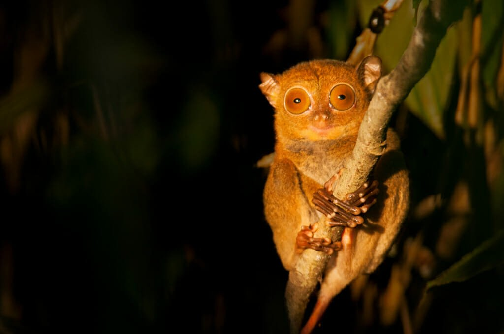 Safari holidays - Western tarsier on Kinabatangan River in Borneo