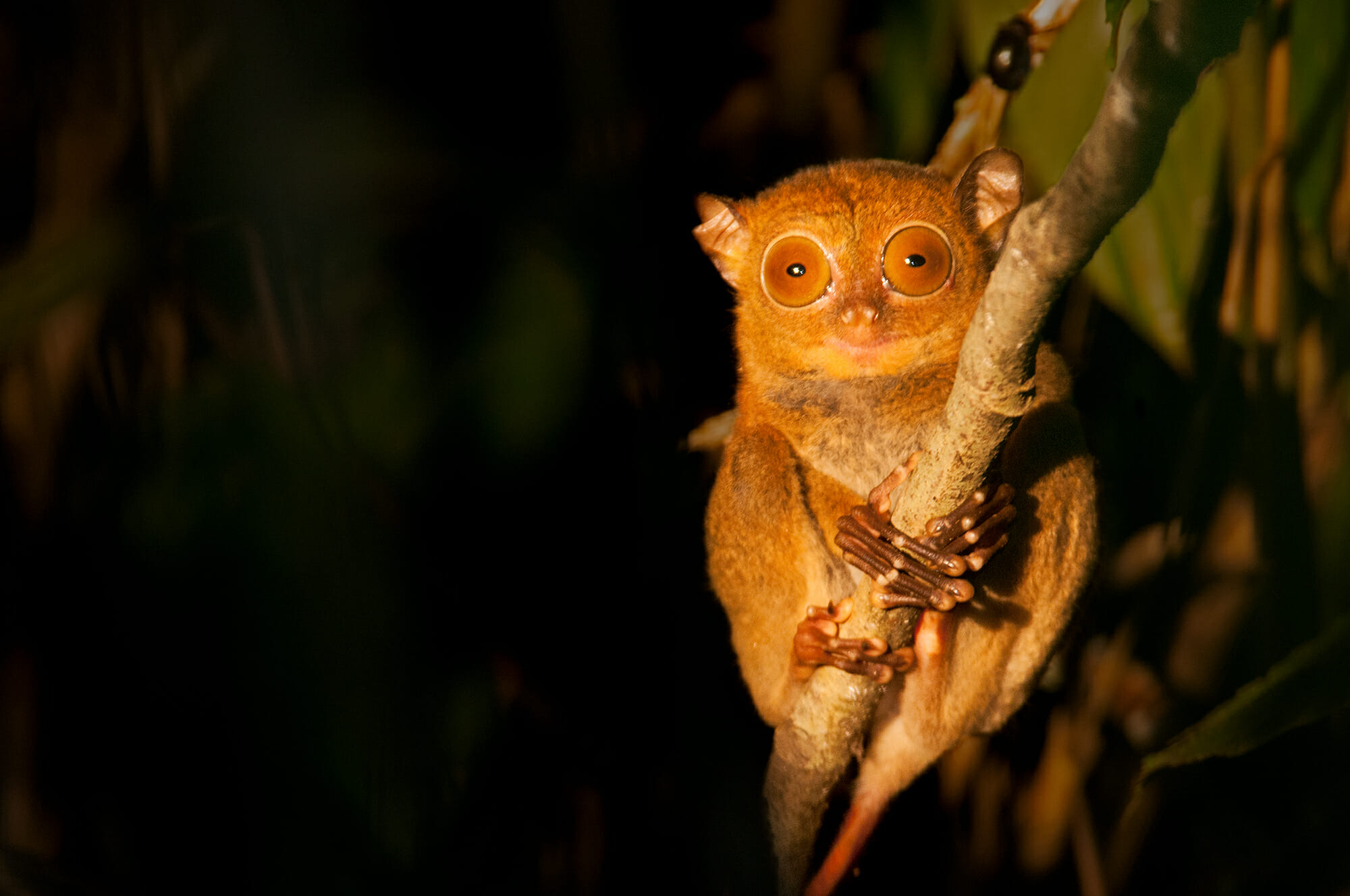 Wild journeys - Western tarsier on Kinabatangan River