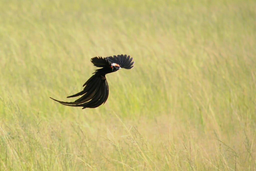Weird animals - Long-tailed widowbird