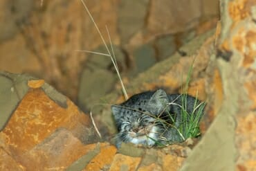 Pallass cat in sichuan