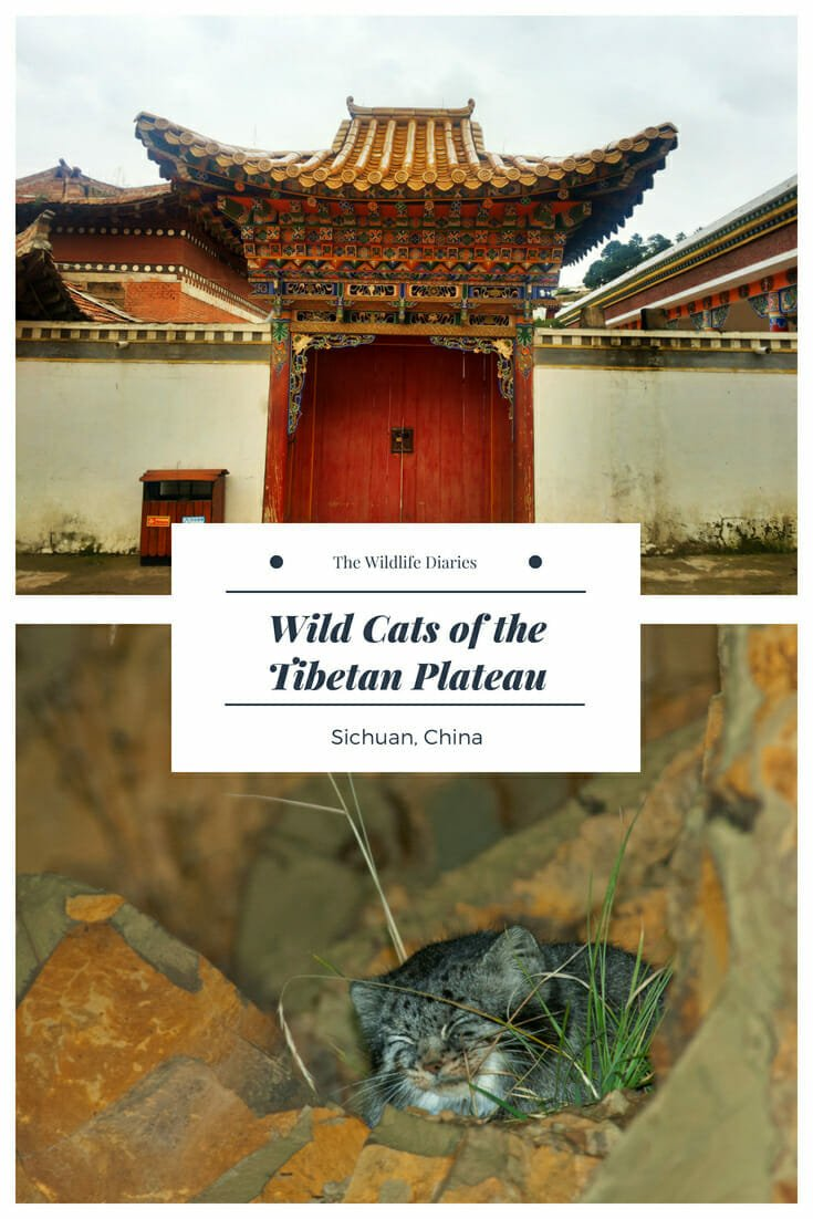 Wild Cats of the Tibetan Plateau on Zoige Grassland #ChineseMountainCat #PallassCat #Tibet #Langmusi