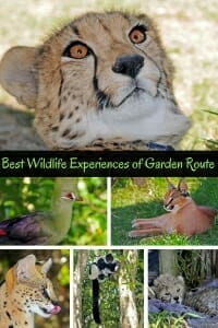 Best wildlife experiences of the Garden Route #wildlifetravel #AfricanWildlife #Cheetah #Serval #Caracal.