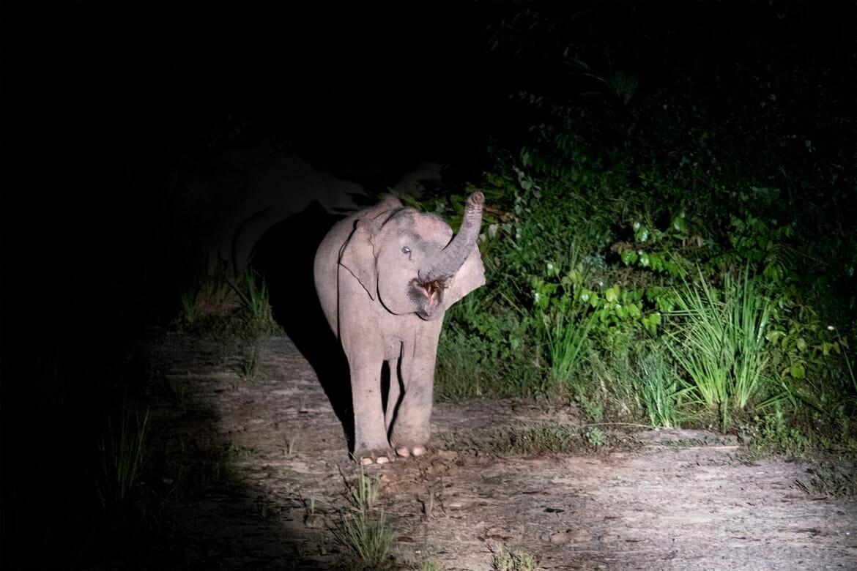 Wild journeys - Borneo pygmy elephant in Deramakot Forest Reserve