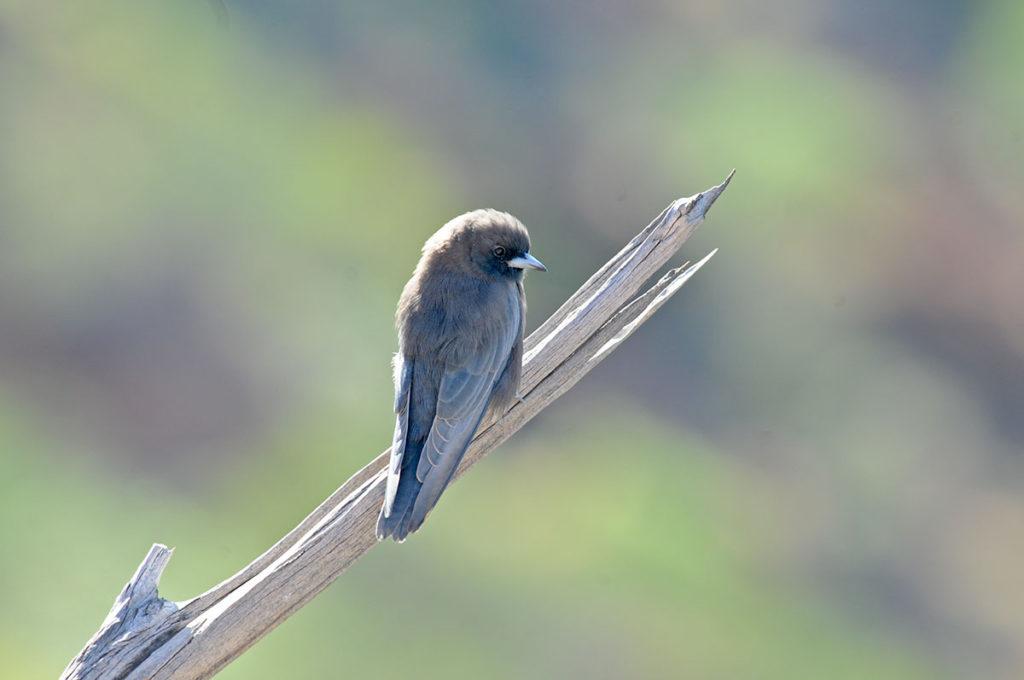 Little woodswallow at Uluru