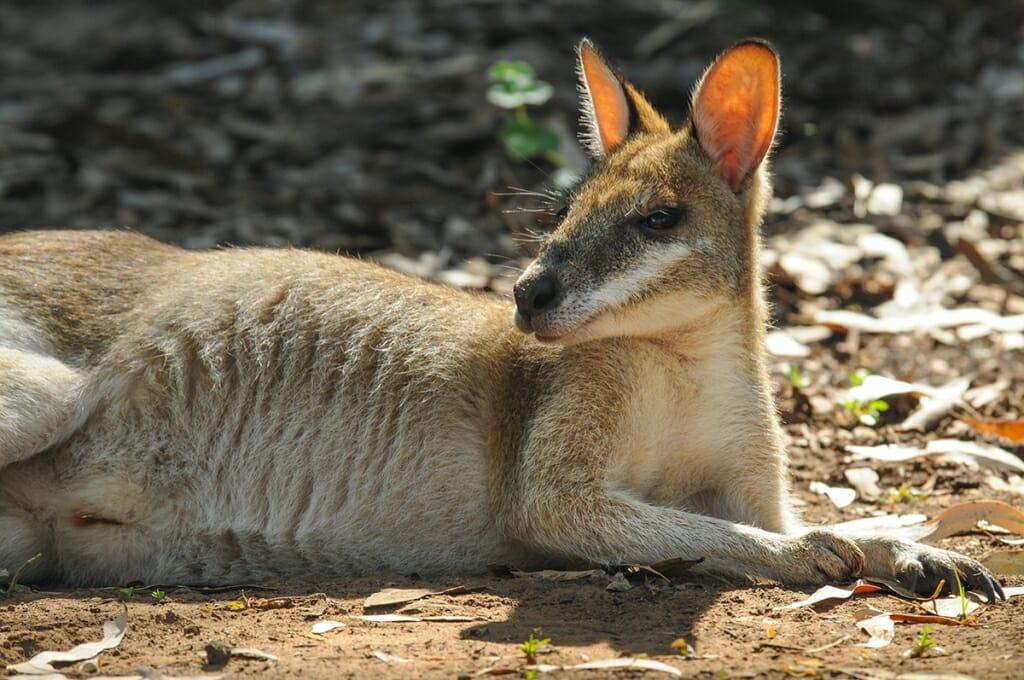 Wildlife in Kakadu national Park- Agile wallaby
