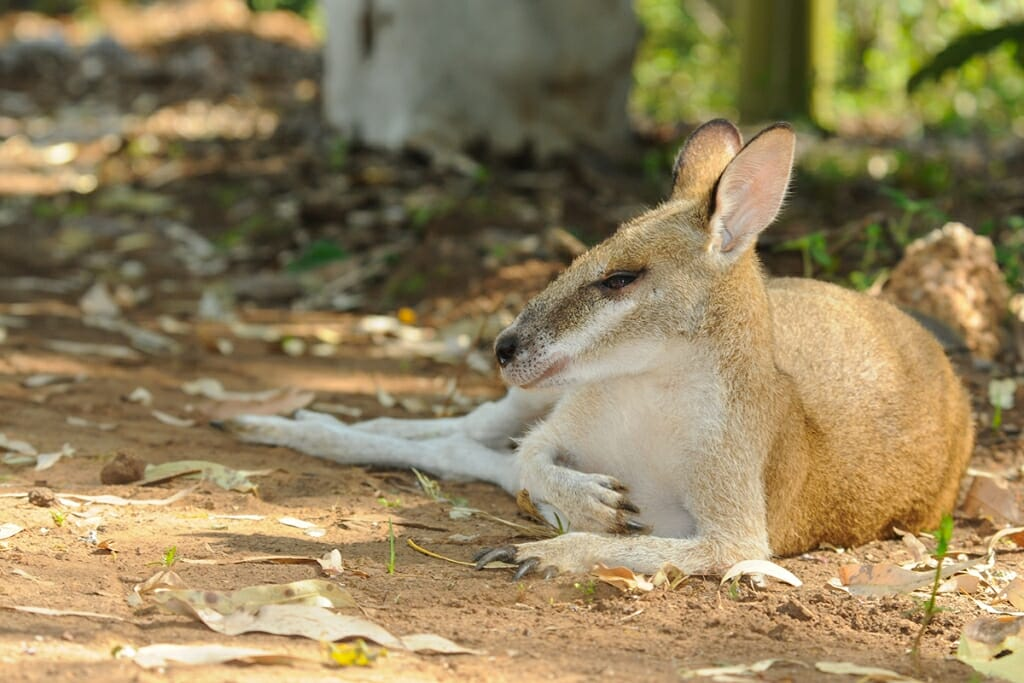 Agile wallaby snoozing