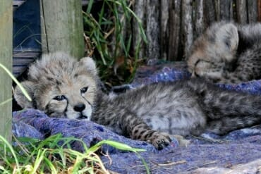 Best wildlife experiences of the Garden Route - cheetah cubs at Tenikwa