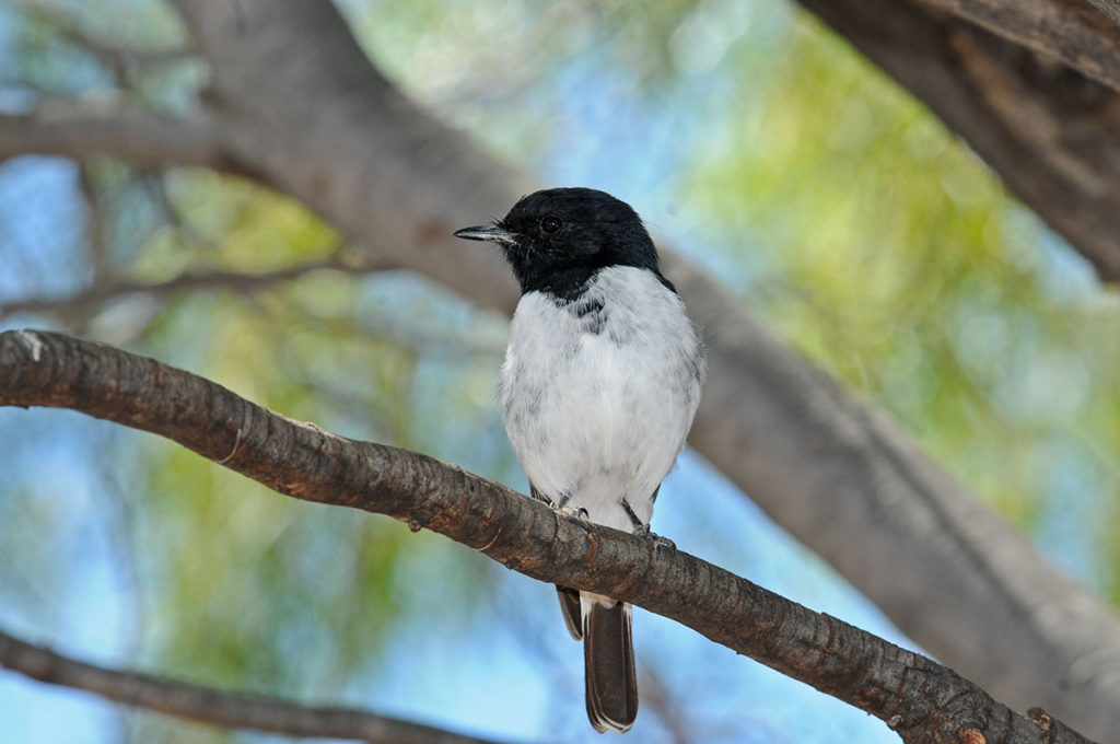 Birds of kings canyon - hooded robin