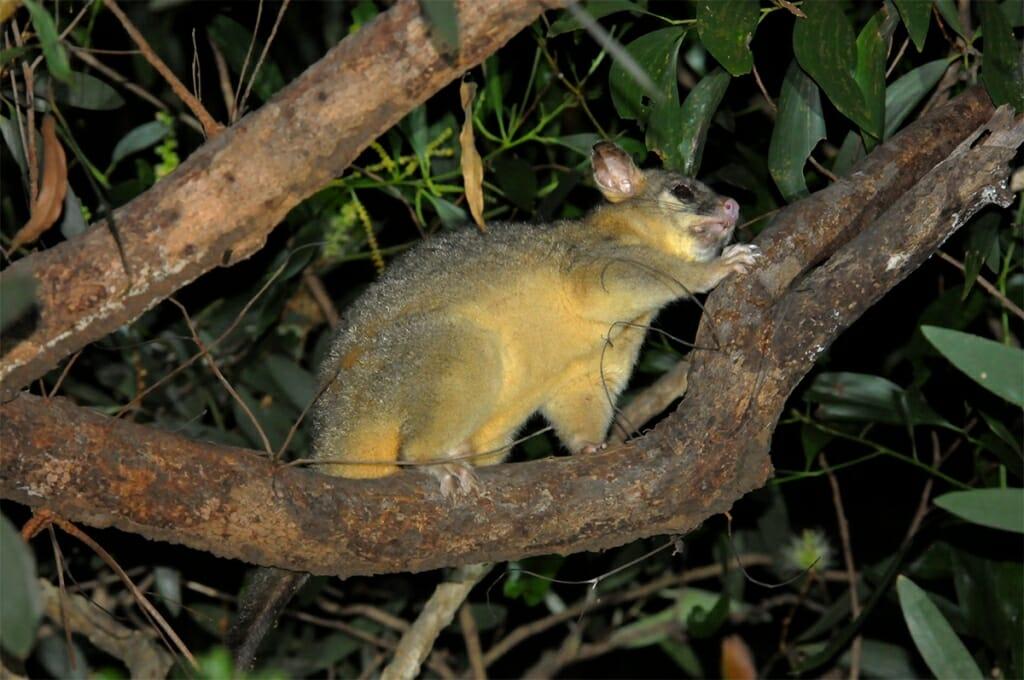 Northern brushtail possum, Kakadu