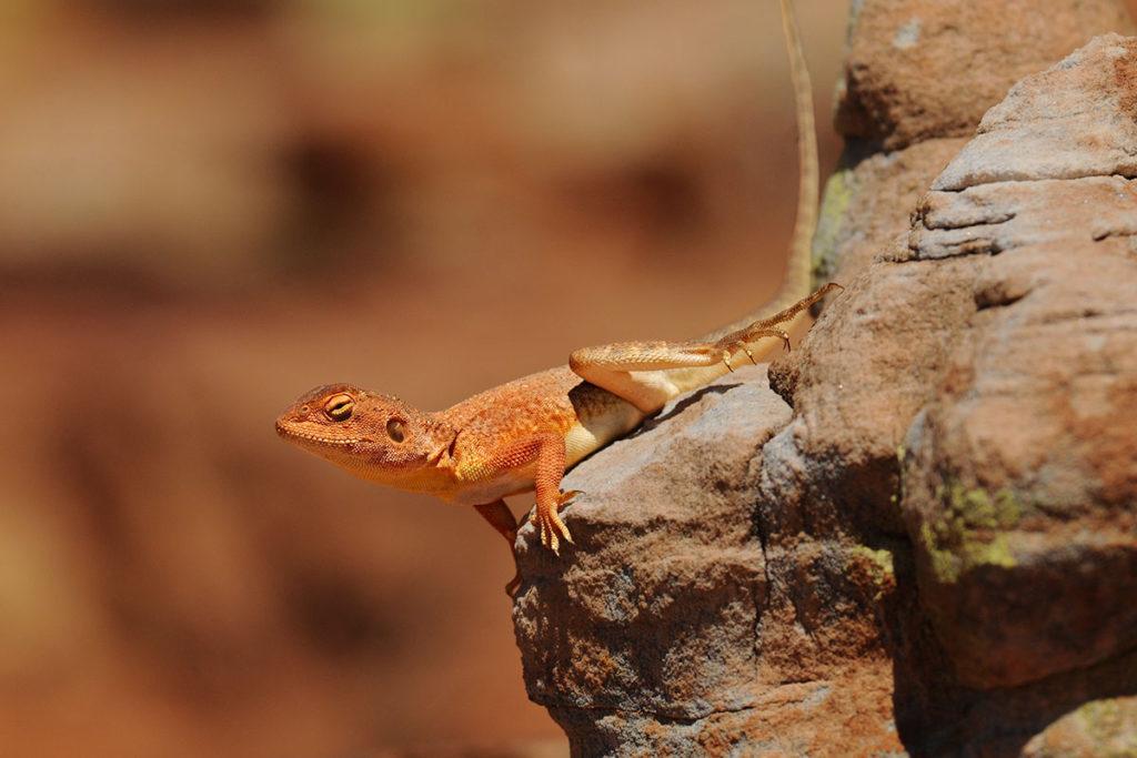Ring-tail dragon at Kings Canyon