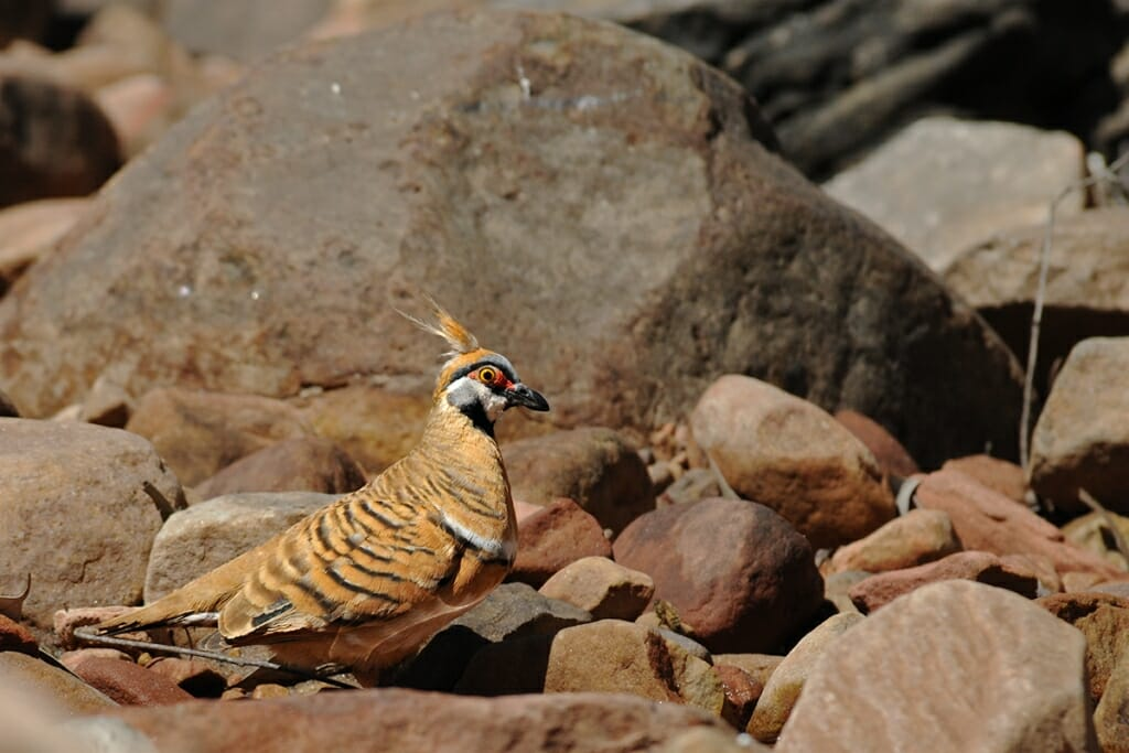 Spinifex pigeon at Uluru