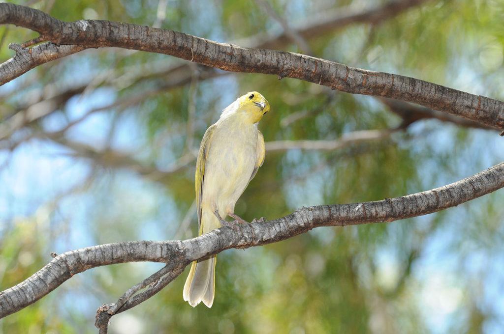 Birds of Uluru - White-plumed honeyeater