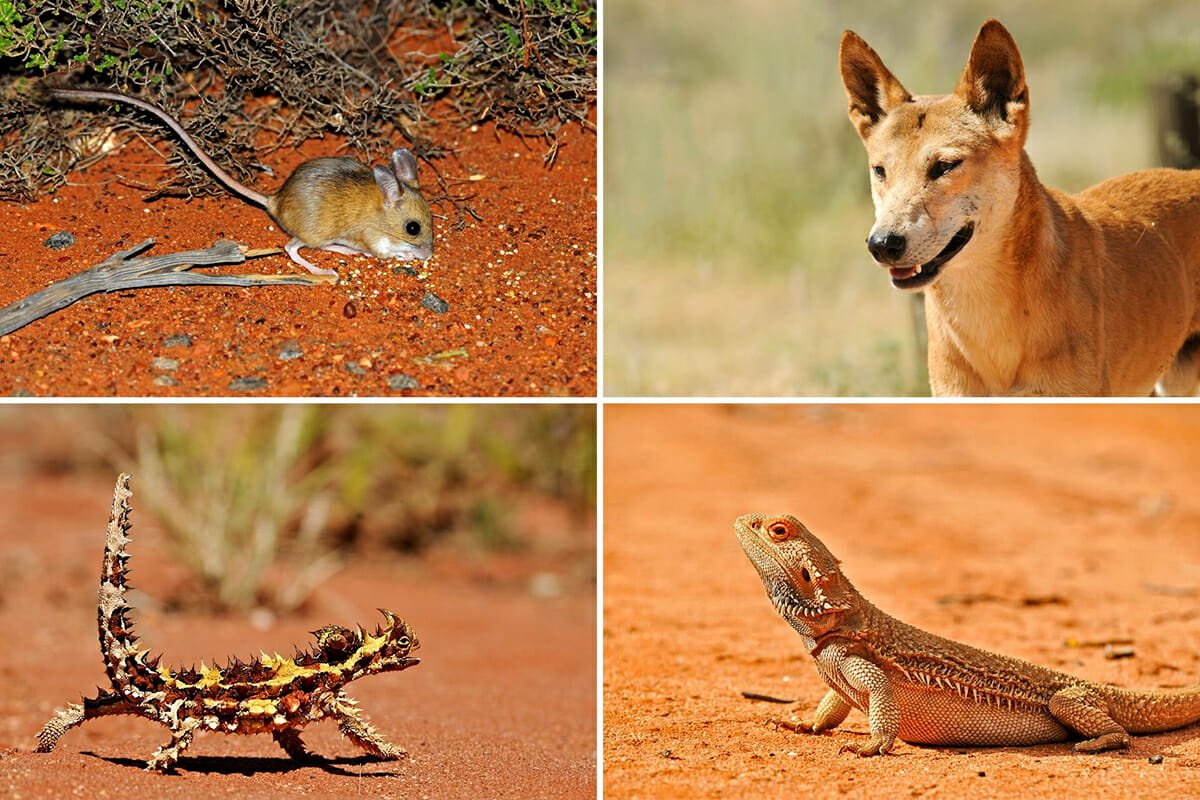 Australian desert animals in the Simpson Desert