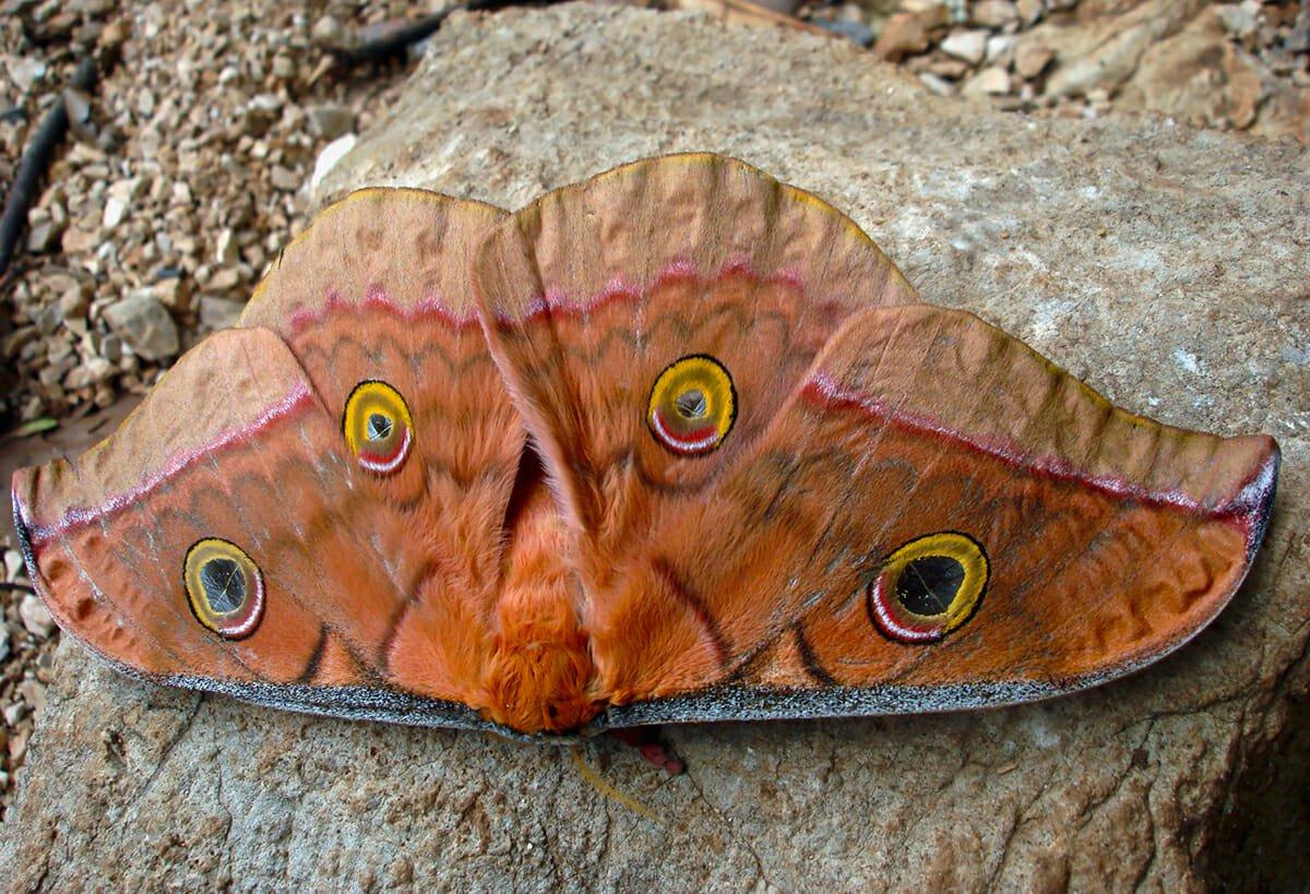Friths Em[eror moth