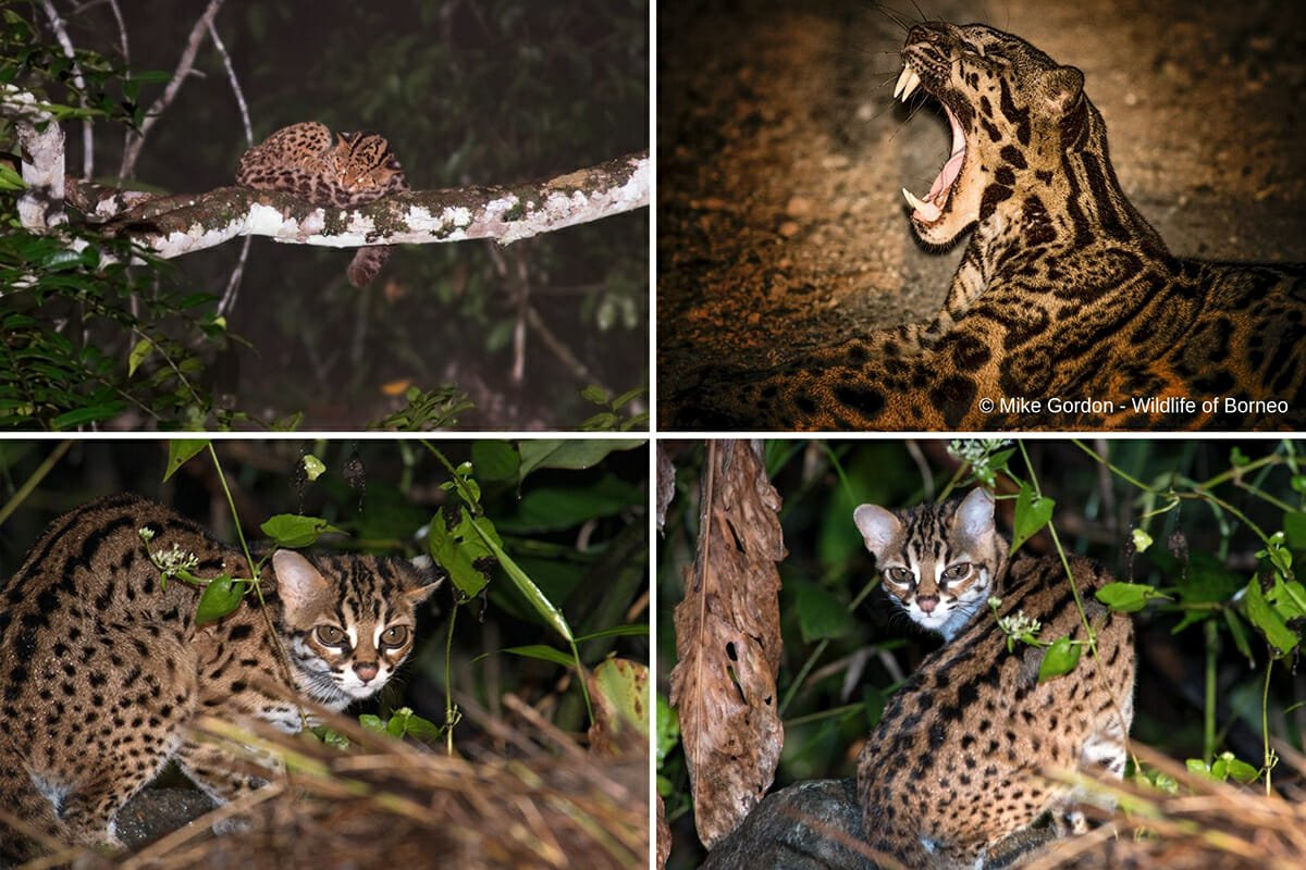 Clouded leopard in Borneo