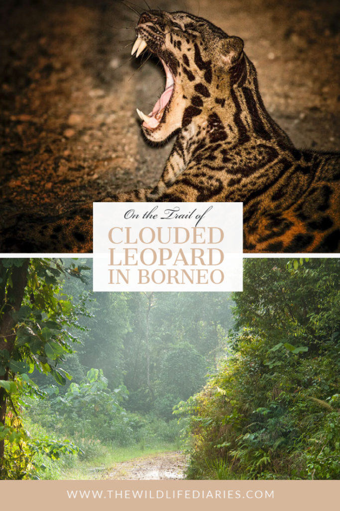 On the trail of sunda clouded leopard, Borneo