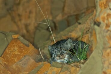 Pallas's cat on Ruoergai grassland