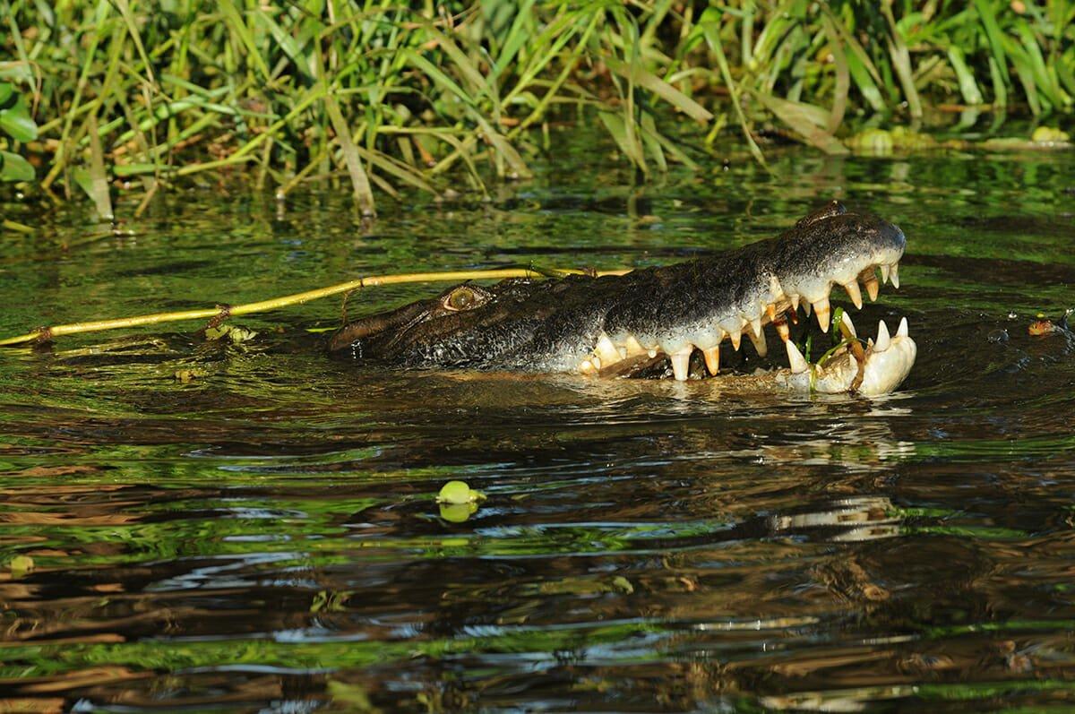 Saltwater crocodile on Mary River, Australia