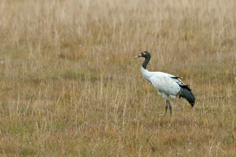 Tibetan plateau - Black-necked crane