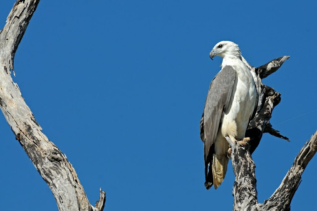 White-bellied sea eagle at Mary River, Australia
