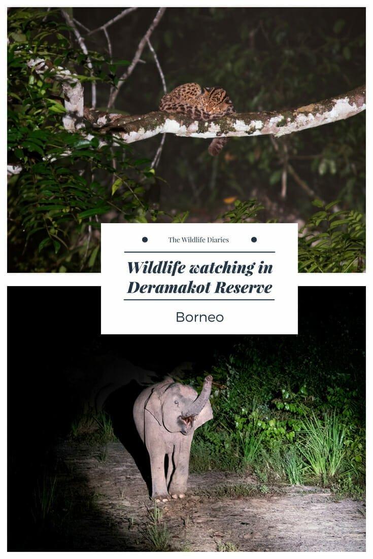 Wildlife Watching in Deramakot Forest Reserve in Borneo #wildcats #borneowildlife #pygmyelephant #marbledcat #flyingfrog #colugo #flyinglemur