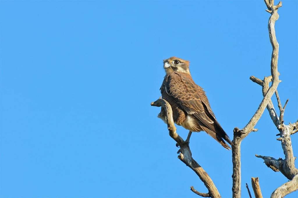 Brown falcon in Simpson desert