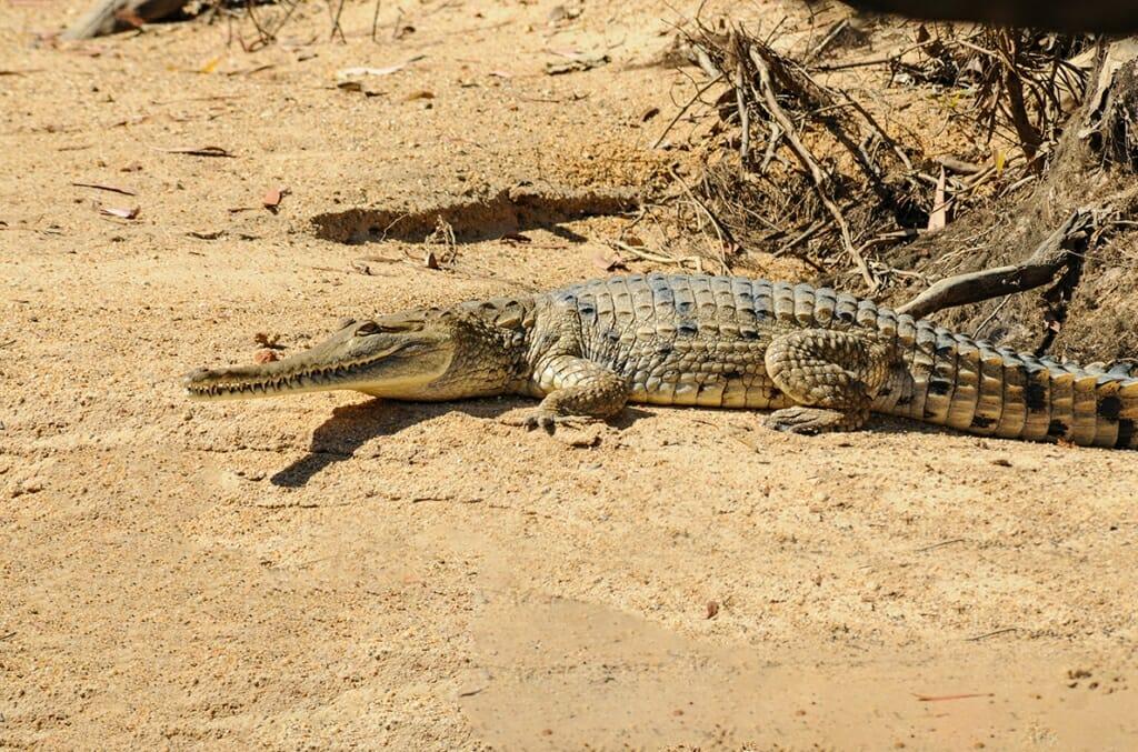 Freshwater crocodile on Mary River, Australia
