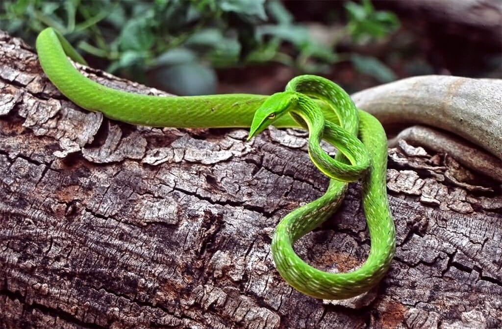 Green whip-snake