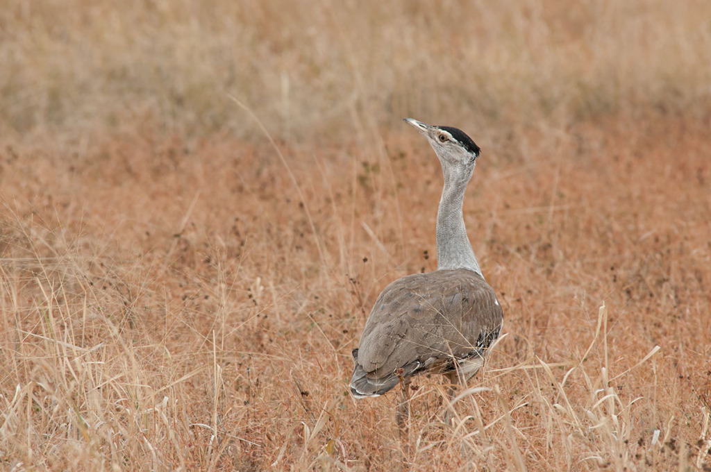 Australian Bustard at Bowra Sanctuary, Queensland