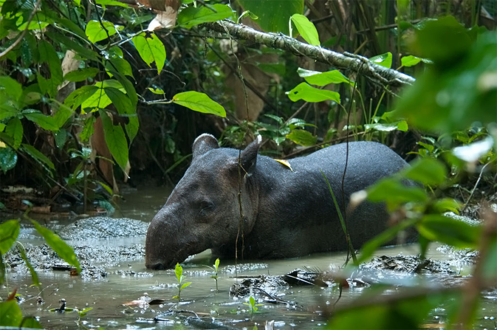 Wildlife in Costa Rica - Baird's tapir