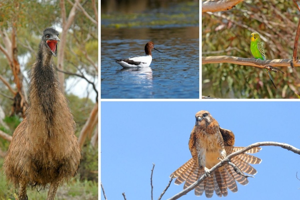 Birds of Australian Outback - emu, avocet, budgee, falcon