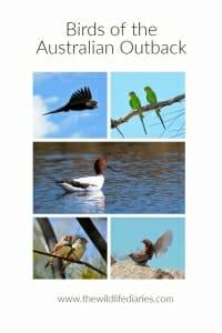 Birds of the Australian Outback #parrots #emu #kingfisher #blackswan