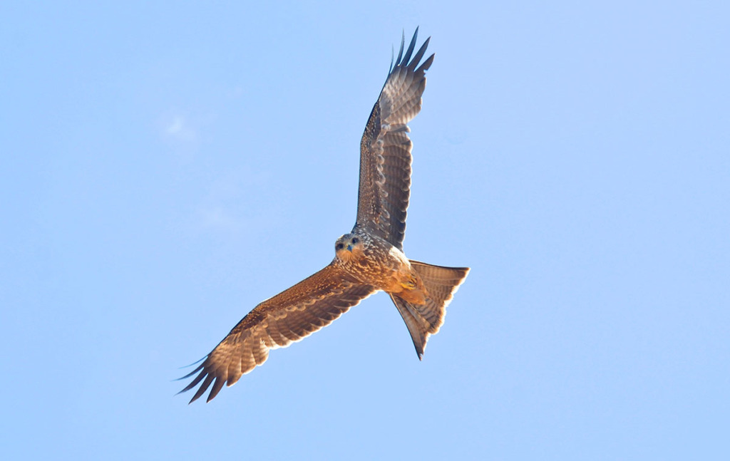 Black kite soaring in the sky