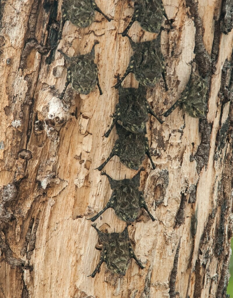 Camouflaged Brazilian long nosed bats at Palo Verde