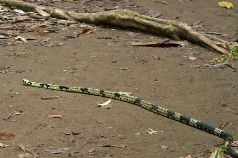 Tiger snake Corcovado Costa Rica